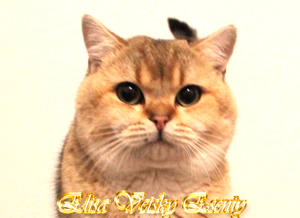 Golden Shaded British SHorthair