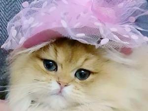 British Longhair Cinderella