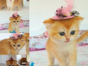 Golden Shell Scottish Fold kedi sahibinden dişi yavru