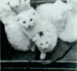 İlk Scottish Fold Yavrular