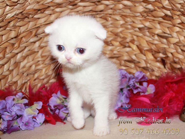 Scottish Fold Beyaz erkek yavru