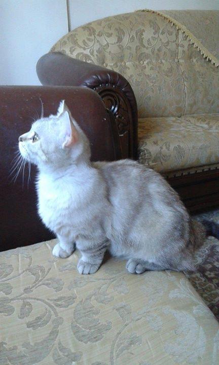 Cüce Kedi Munchkin