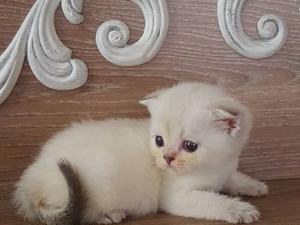 Scottish Fold Mavi gözlü erkek yavru * Wow