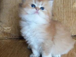 Highland Straight erkek yavru kedicik