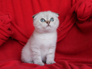 Scottish Fold Mavi gözlü erkek yavru Mösyö Coco