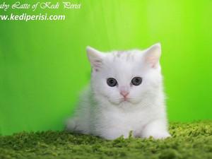 Beyaz İskoç Kedisi dişi yavru LATTE