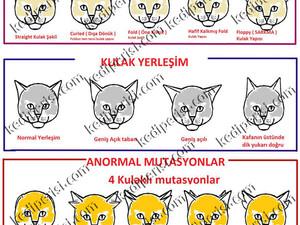 Kırık Kıvrık hatta 4 kulaklı kediler