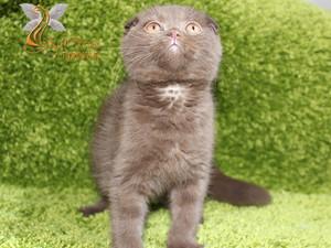 Scottish Fold erkek yavru çukulata NAPOLYON