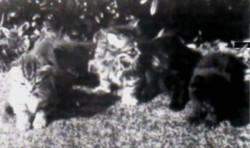 scottish-fold-ilk-yavrular-ingiliz-ingiltere.jpg
