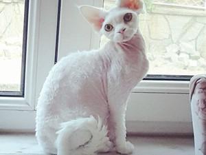 Devon Rex Erkek Beyaz Kedi