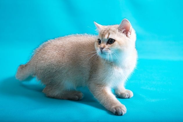 Golden Shaded British SHorthair male