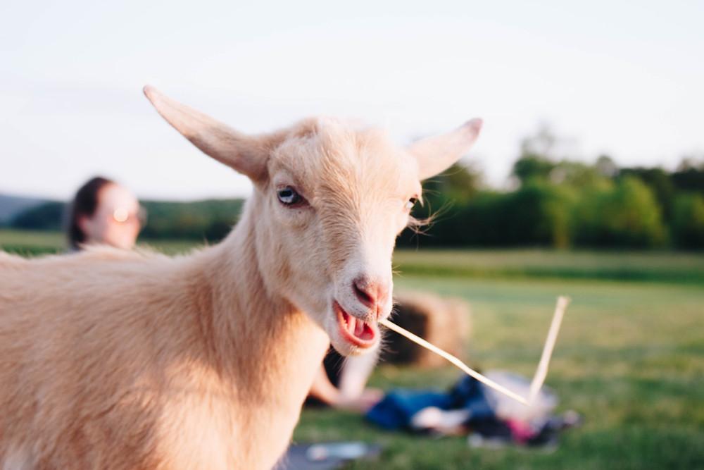 Jenny the Goat at Sunset Goat Yoga