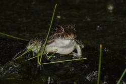 Leptodactylus latrans