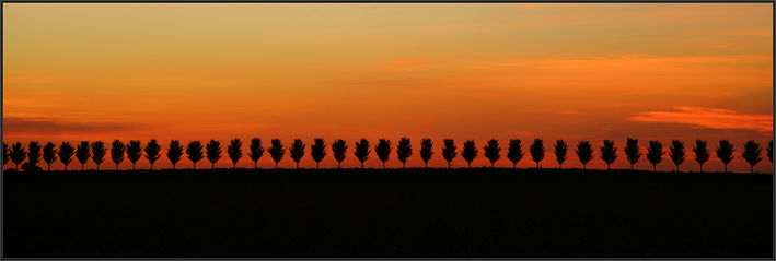 Trees in Dutch polder at sunset
