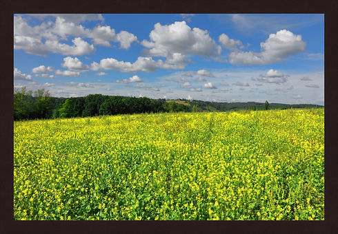Rapeseed in France