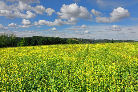 Rapeseed in Dordogne France