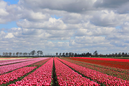 Tulips. Springtime in Holland