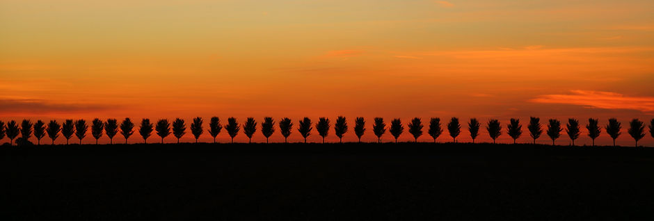 Row of trees at sunset in Beemster Polder the Netherlands