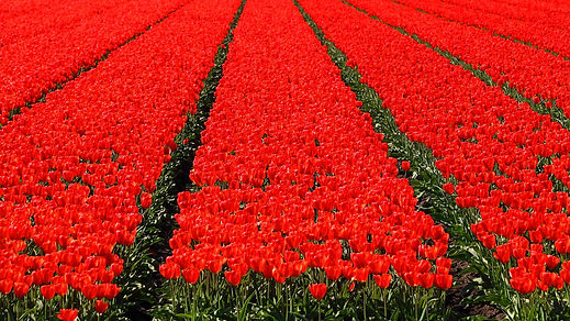 All tulips are red