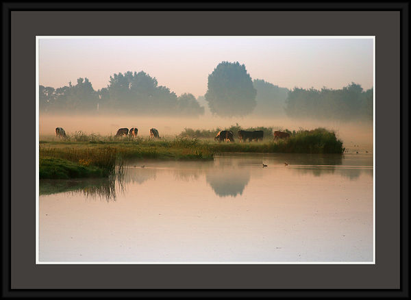 Cows on an early morning