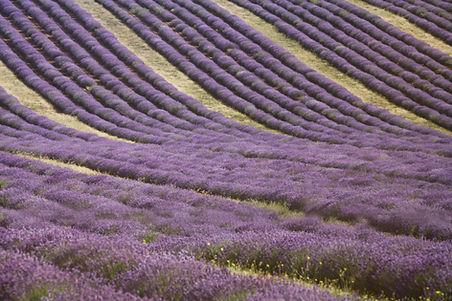 Lavender Fiel Provence France