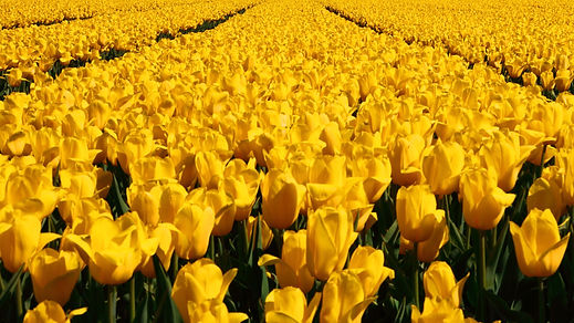 All tulips are yellow