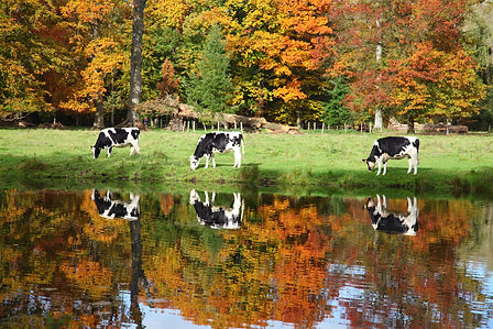 Cows in the mirror