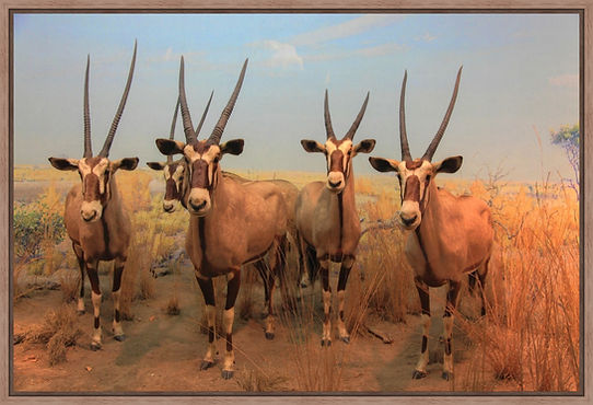 Oryx / Spiesbokken