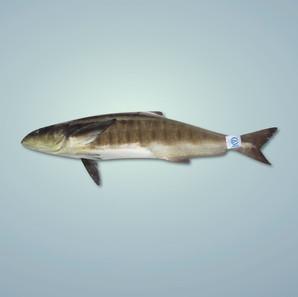 魚仲 Cobia