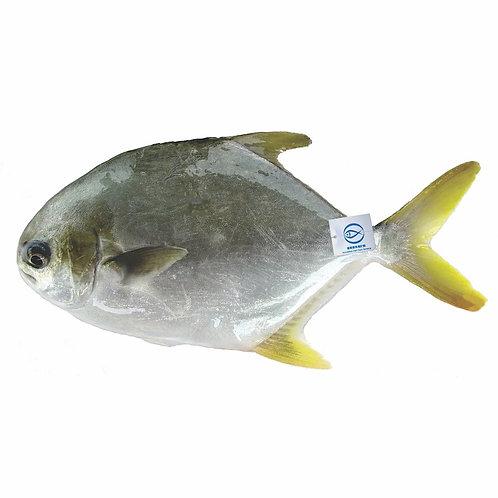FMO Local Accredited Fish 魚類統營處 本地優質魚 - 黃立鯧 | Pampano