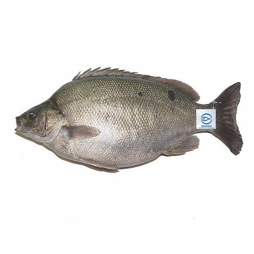 FMO Local Accredited Fish 魚類統營處 本地優質魚 - 寶石魚 | Jade Perch