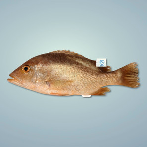 紅魚 Red Snapper