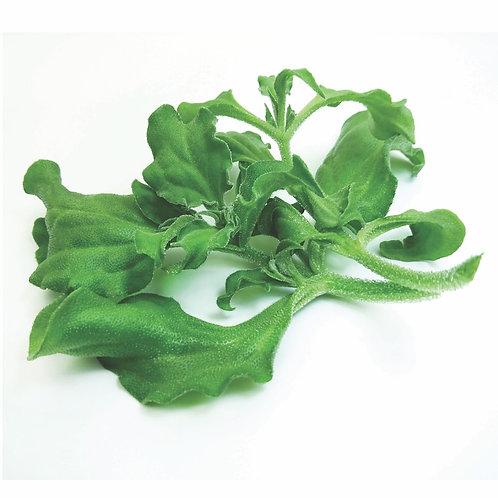 VMO 蔬菜統營處 水耕冰菜 | Hydroponic Ice Plant