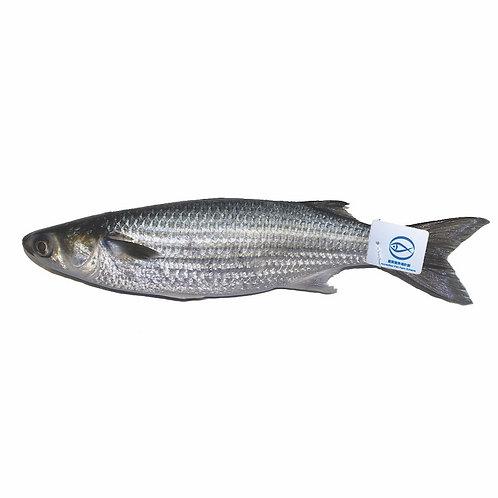 FMO Local Accredited Fish 魚類統營處 本地優質魚 - 烏頭 | Grey Mullet