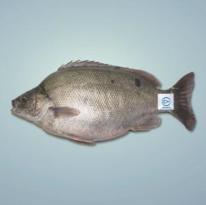 寶石魚 Jade Perch