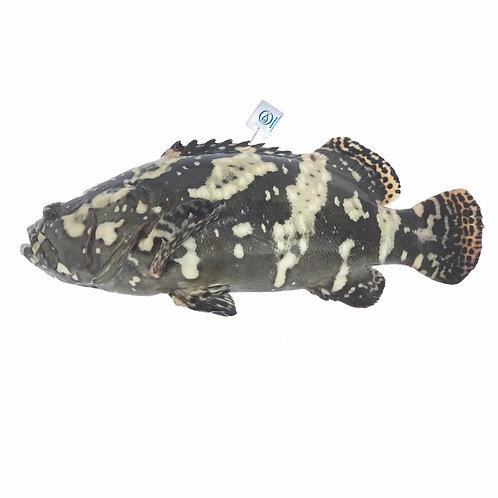 FMO Local Accredited Fish 魚類統營處 本地優質魚 - 沙巴龍躉 | Hybrid Grouper