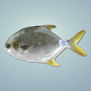 黃鱲䱽 Pompano