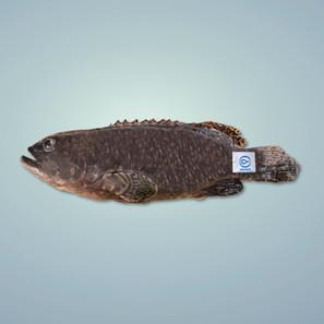 花尾龍躉 Giant Grouper