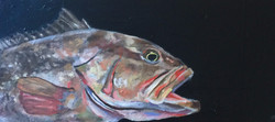Red Grouper Study