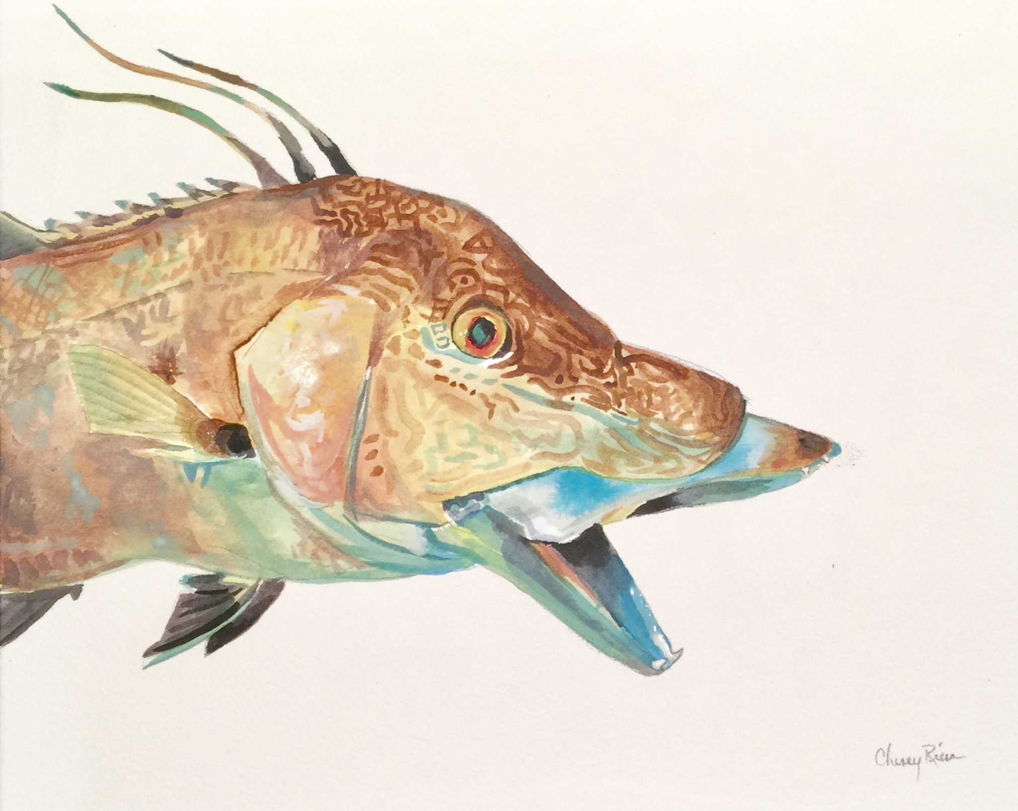 Hogfish Color Study