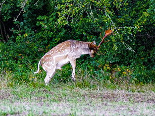 Fallow Buck seeking crab apples