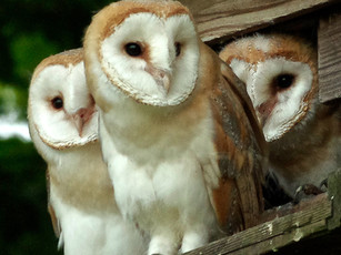 Fledgling Barn Owls
