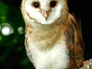 5 week old Barn Owl