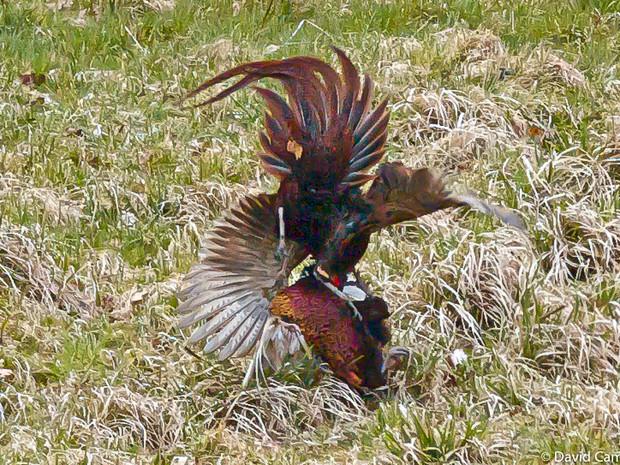 Cock Pheasant Dispute