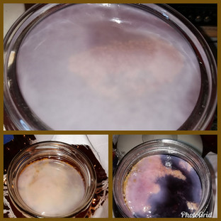 """Scoby at various stages of """"development"""""""