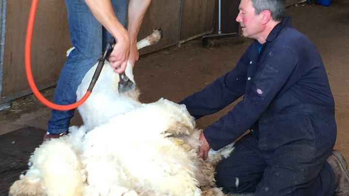 Shear a Sheep - 10am - 11th July 2021