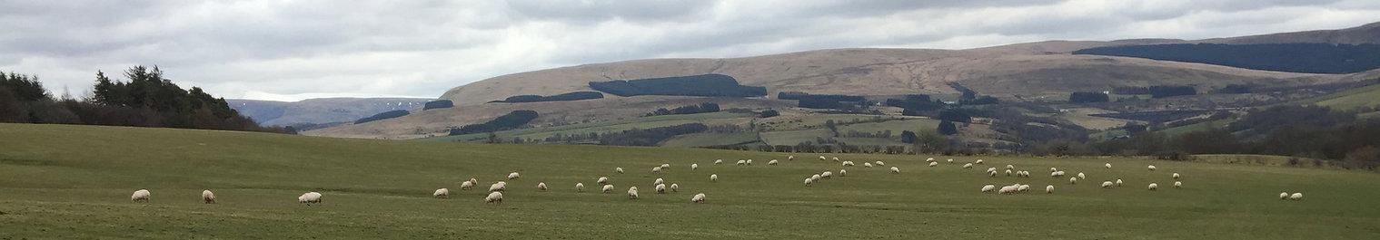 Brecon beacons sheep walk