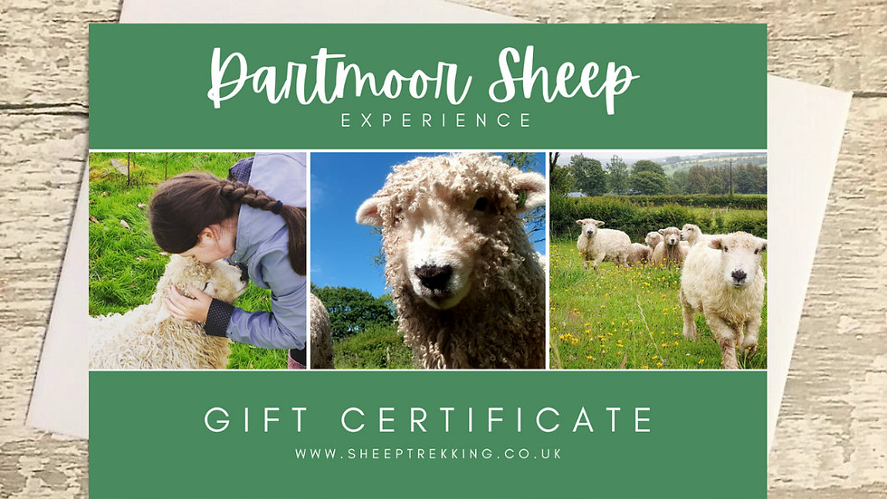 Cute Dartmoor Sheep Experience - Gift Voucher