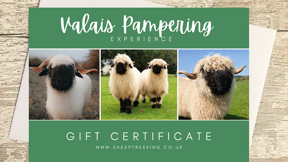 Valais Blacknose Sheep Pampering Experience - Gift Voucher