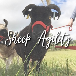Sheep Walking.png